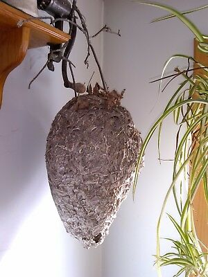 Hornet paper wasp beehive found this fall great for taxidermy or decoration mint