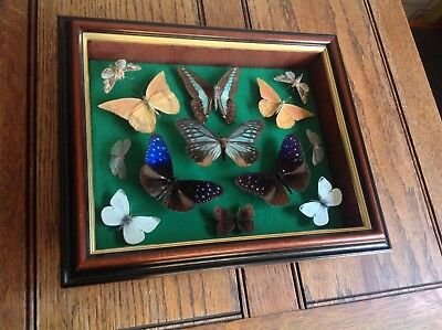 Taxidermy Butterflies and Moths Pinned Collection in Box Frame