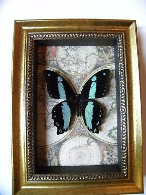 Real Framed Butterfly insect Taxidermy in Collectible Gift bromius swallowtail