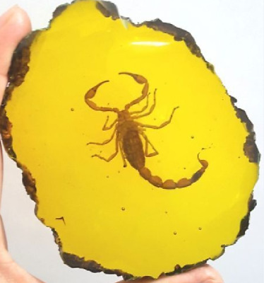 Beautiful amber scorpion fossil insects