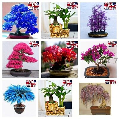 Seeds Japanese Rare Unusual Plant Maple Bonsai Acer Blue Tree Easy Learn Grow up