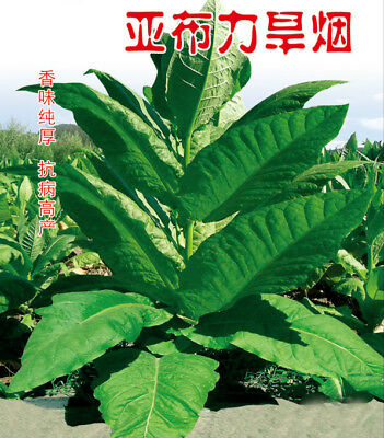 2000+ seeds 5g YaBuLi Tobacco Seed Organic Virginia leaf Heirloom easy grow