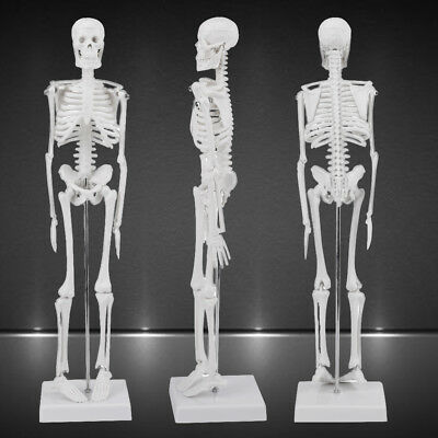 1:4 Human Anatomical Anatomy Skeleton Medical Teaching Model Stand