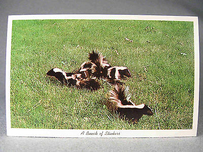 Skunk photographic postcard, Curteichcolor & photo by Allan Roberts