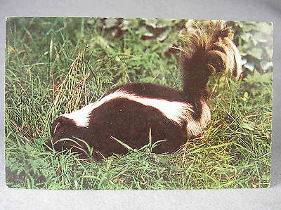 Skunk photographic postcard, Delaware Valley Scenes & Dexter Press, NY
