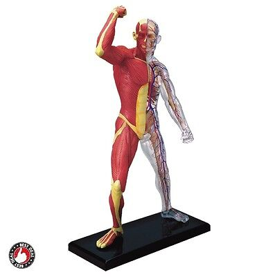 """Anatomy Model Muscle Skeleton Human Anatomical Learning Medical Learn Body 8"""""""