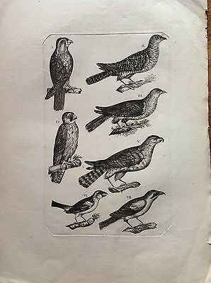 Buzzard of Prey Incision Original Eighteenth Century Ornithology Studio Birds