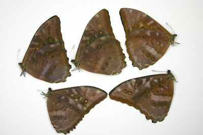 5 Morpho telemacus in A1 condition