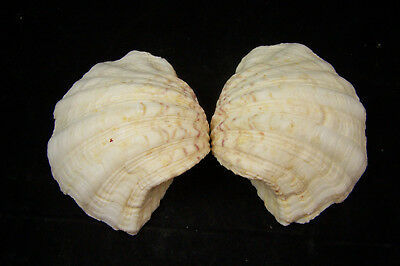 Bear Paw Giant Clam Seashell Matched Pair Tridacna Hippopus 5 1/2 inches