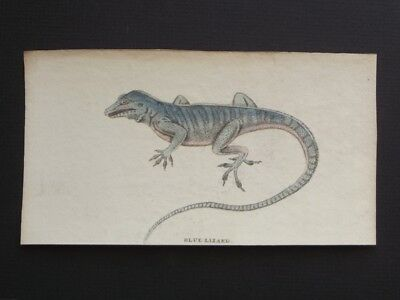 Blue Lizard - Original Harrison Cluse 1799 Hand Colored Copper Plate Engraving