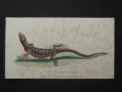 Little Brown  Lizard - Harrison Cluse 1800 Hand Colored Copper Plate Engraving