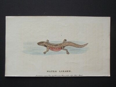 Water Lizard - Original Harrison Cluse 1800 Hand Colored Copper Plate Engraving