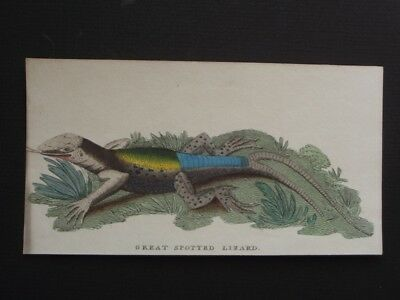 Great Spotted Lizard - Harrison Cluse 1799 Hand Colored Copper Plate Engraving