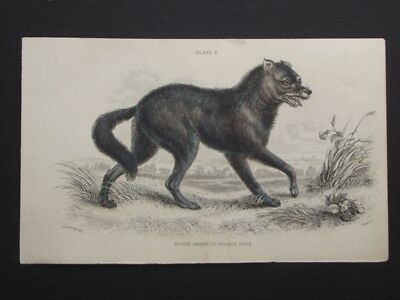 NORTH AMERICAN PRAIRIE WOLF - LIZAR'S 1830's HAND COLORED COPPER PLATE ENGRAVING