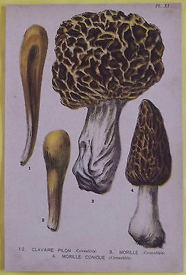 Old Print 1880 Original Mushrooms clavaire Pilon, & Morel Morel Conic