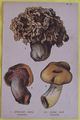 Old Print 1880 Original Sparassis Mushrooms & Frizzy hydne Sinué