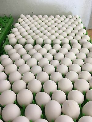 100 Northern Bobwhite Quail Hatching Eggs  *NPIP CERTIFIED*