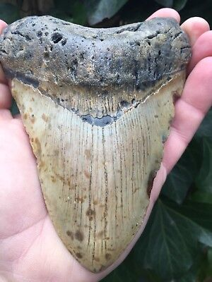 5 5/8 Inch MEGALODON Shark Tooth Fossil *100% AUTHENTIC* Meg Teeth HUGE & THICK
