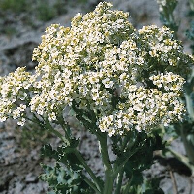 Vegetable - Seakale - Lilywhite - 10 Seeds