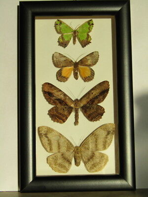 Butterflies Geometridae from Indonesia in frame