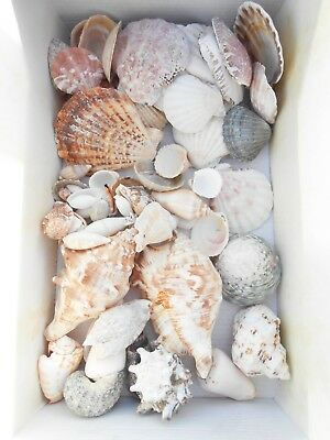 Lot of Sea Shells for Craft or Decoration - Seaside, Maritime Decor