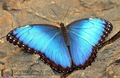 Morpho helenor ssp., Assortment of 10 Unmounted, A1 males & females - Costa Rica