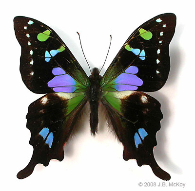 Graphium weiskei, Lot of 10 A1 Unmounted, Fresh,Colorful Males ( Arfak Mts. )