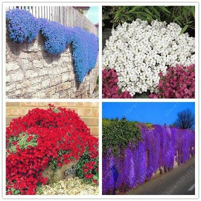 100pcs/bag Creeping Thyme Seeds or Blue ROCK CRESS seeds-Perennial Ground cover