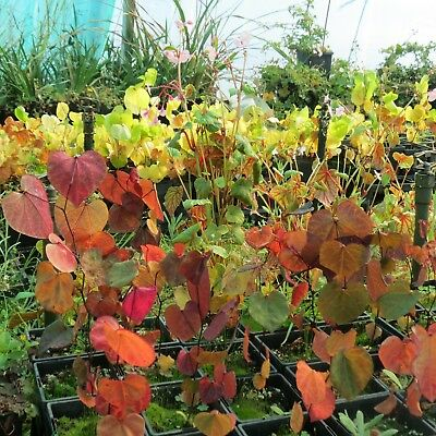 Cercis canadensis - Forest Pansy- seedling  20 - 40cm