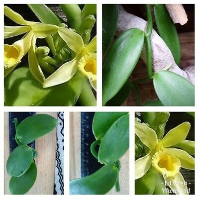 Vanilla bean Orchid cutting
