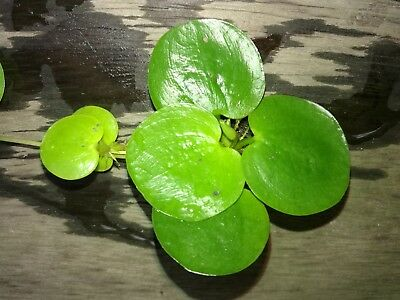 Amazon Amazing Frogbit x 50 plants. Included Standard Delivery by Aust Post