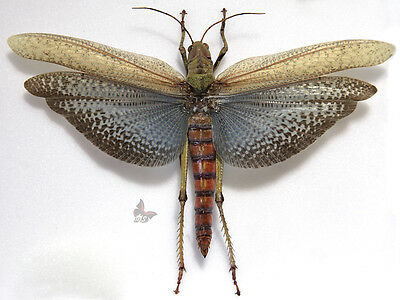 Titanacris collaris,FEMALE,Unmounted