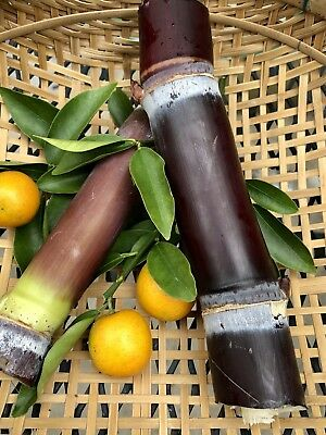 SOLD OUT- 1 Asian BLACK And 1 Florida Red  Sugar Cane Cuttings - 2+ Nodes Per