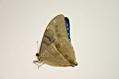 1 Morpho brazil in A1 condition