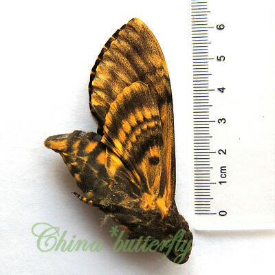 HUGE RARE  collection  biology unmounted butterfly / moth  GUANGXI CHINA  #429
