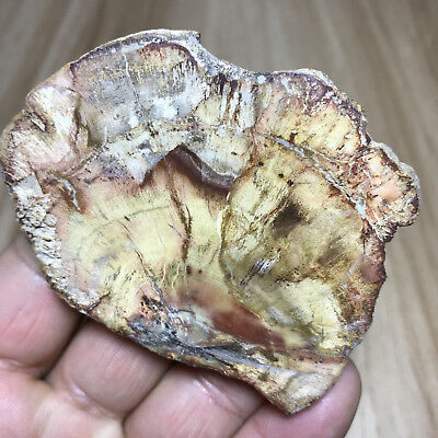 54g Beautiful Polished Petrified Wood Fossil Crystal Slice Madagascar 302