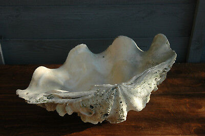 """Vintage Natural Giant Clam Shell Tridacna Gigas 37cm / 14.5"""" Width"""