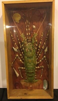 Spiny Lobster Taxidermy Beautiful Condition in wood/ Glass Display.