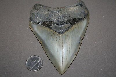 "MEGALODON Fossil Giant Sharks Teeth Ocean No Repair 4.53"" HUGE BEAUTIFUL TOOTH"