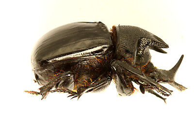 HELIOCOPRIS SCARABAEIDAE DUNG BEETLE COLEOPTERA (R.S.Africa) VERY RARE!!! (6402)