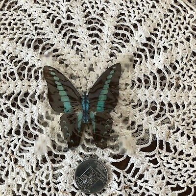 VINTAGE Pressed BUTTERFLY Teal & Brown Brilliant Color REAL for your art project