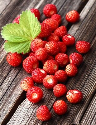 Vegetable Alpine Strawberry Regina  500 Finest Seeds