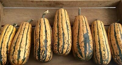 Vegetable  Squash  Delicata Honeyboat 20 Finest Seeds