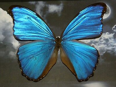 Real Framed moth Butterfly morpho insect mounted Collectible shadowbox gift
