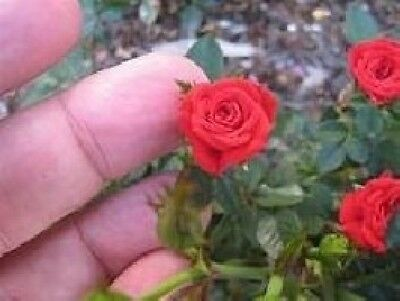 20+ MINIATURE, MIXED COLOR ANGEL WINGS ROSE Bush Seeds   USA SELLER, SHIPS FREE