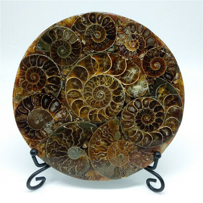 Half Cut Ammonite Shell Jurassic Fossil Disc with Stand Madagascar 110MM