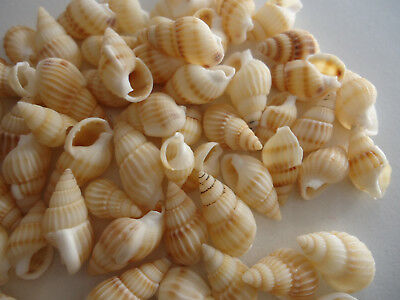 50x  Natural Spiral Sea Shell Beads Tribal Jewellery Craft 12-16mm(R036-15)