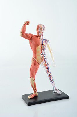 Human Muscle and Skeleton Anatomy Model Medical Simulation Human Anatomy