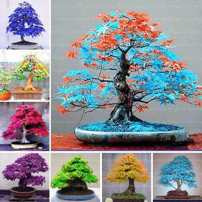 Bonsai Blue Maple Seeds Rare Plant Flower Pot Home Indoor Art Home Decor Living