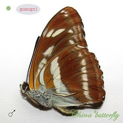 unmounted butterfly Nymphalidae Athyma opalina constricta GUANGXI  A1 #G7